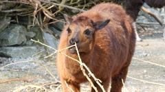 Stock Video Footage of Red Lama, eating young twigs of the tree