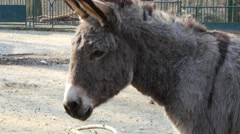 Grey donkey Stock Footage