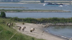 Konik horses roam along the river banks + cargo ships on the river Waal Stock Footage