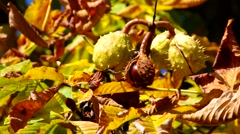 chestnut in fall, sunny da - stock footage