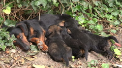 Cute Puppies Breastfeed, Dogs Suckling its Mother Stock Footage