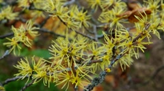 Stock Video Footage of Hamamelis virginiana in fall, a medicinal plant