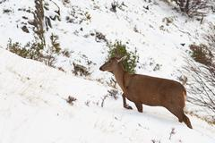 South Andean Deer - stock photo