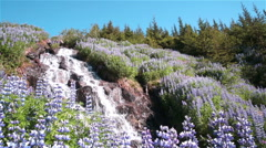 Lupine flowers forest waterfall, Icelandic summer Stock Footage