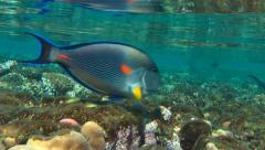 Surgeon Fish underwater Stock Footage