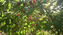 Cherry trees with berries and sun rays Stock Footage