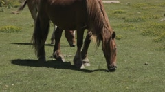 Brown mare horse grazing grass and foal walking behind Stock Footage