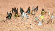 Stock Video Footage of panning shot Group of  butterfly on the ground