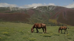 Brown mare horse grazing grass and foal with snow covered mountains Stock Footage