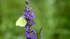 Brimstone butterfly, Gonepteryx rhamni, on flower Stock Footage