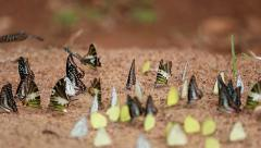 Panning shot Group of  butterfly on the ground Stock Footage