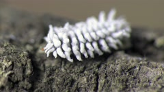 White Larva mealybug climbs the tree, an insect pest, macro, Central Europe Stock Footage