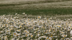 Blossoming Chamomiles Swaying On Wind In The Field Stock Footage