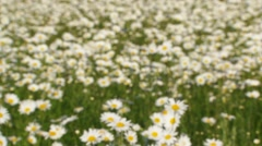 Field Of Blossoming Chamomiles Stock Footage