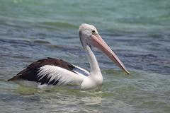 Australian Pelican (Pelecanus conspicillatus) - stock photo