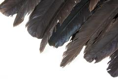 Varying Degrees of Color Depicted on Tips of Birds Feathers - stock photo