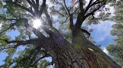 Stock Video Footage of Slow Pan Through Cottonwood Tree Lens Flare