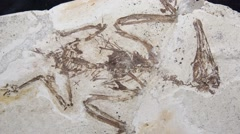 Feathered dinosaur from China Stock Footage