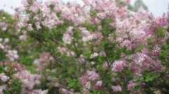 Close-up video of blossoming lilac Stock Footage