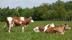 Cows on pasture - stock footage
