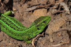 Green lizard stalking among stones, fallen leaves and twigs, side twist view Stock Photos