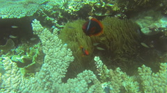 Clownfish and Sea Anemone in Philippines Stock Footage
