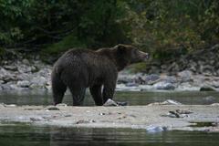 grizzly bear next to an alaskan lake - stock photo