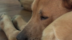 Dog laying on ground with eyes wide open 4k Stock Footage