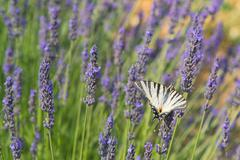 Stock Photo of Old World swallowtail butterfly on Lavender