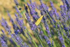Common brimstone butterfly on Lavender Stock Photos