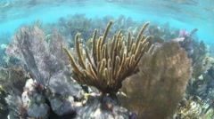 Shallow Caribbean Coral Reef Stock Footage