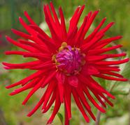 red aster - stock photo