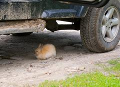 rabbit and dirty jeep - stock photo