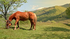 Horse grazing on the mountain meadow in Carpathian, natural landscape background Stock Footage