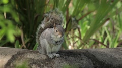 Squirrel in the Wind Stock Footage
