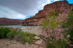 Wild Flowers Colorado River at Lees Ferry Arizona Landscape - stock photo