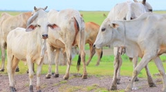 Livestock cow in animals farm Stock Footage