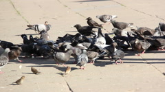 Pigeons fighting for food on the street Stock Footage