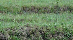 Richard's pipit in the rice field Stock Footage