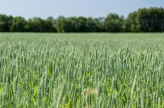 Green wheat field, narrow depth, defocused background - stock photo