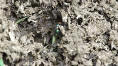 Blow Fly on the dung Stock Footage