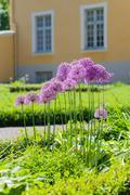 Blooming giant onion (Allium Giganteum) in the garden - stock photo