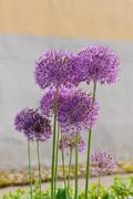 Giant onion flowers (Allium Giganteum) against wall - stock photo