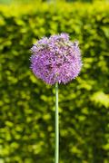 Inflorescence of giant onion (Allium Giganteum) against bright background - stock photo