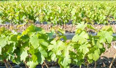Field of rooted grafts of vine - stock photo