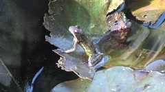 Frog on lilly pad in pond 03 Stock Footage
