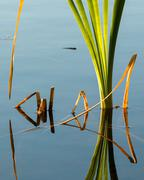 Cattail leaf reflections - stock photo
