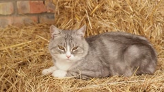 Not Hhungry Cat In The Hay In The Hangar Stock Footage