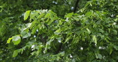 Fresh linden leaves in summer morning slowmo 60fps Stock Footage