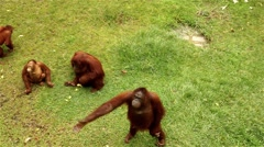 Group of orang utan been feed by the tourists. Stock Footage